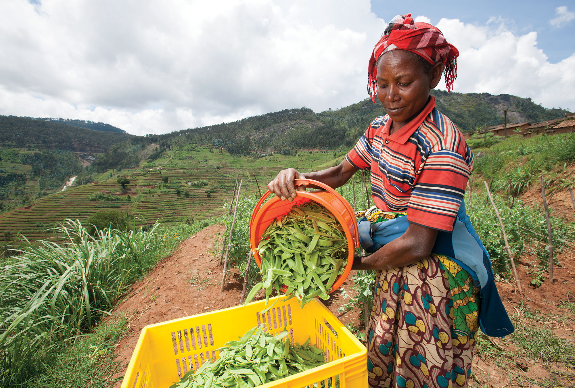 A woman harvesting peas