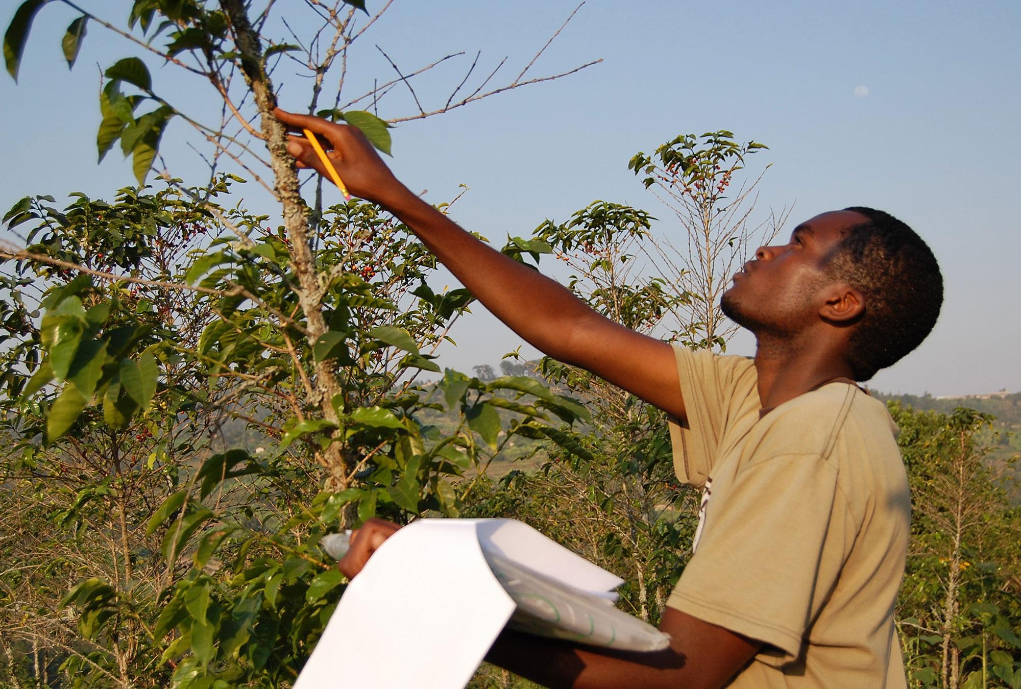 Surveyor inspecting a coffee plant in rural Rwanda