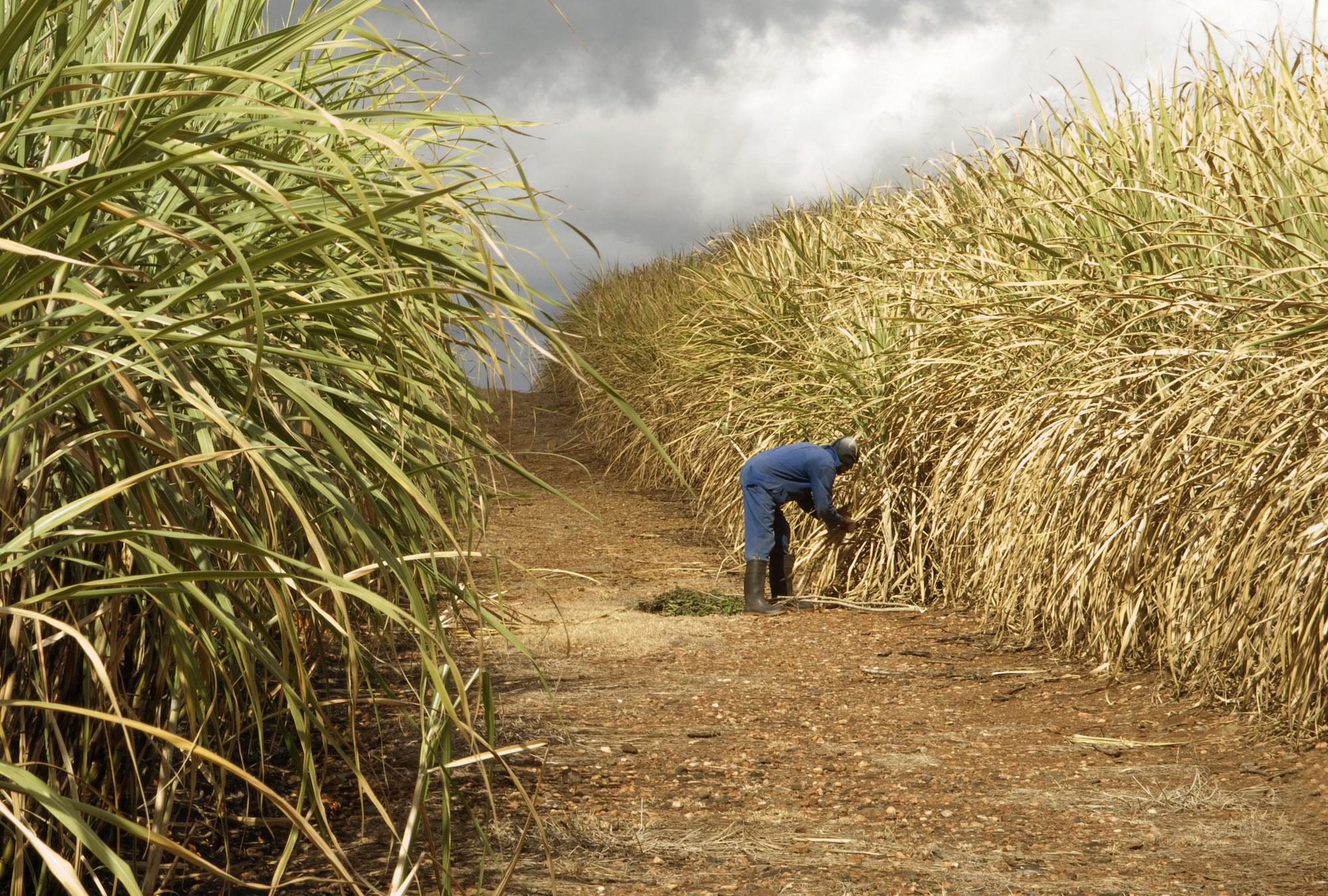 Man bends over between rows of sugarcane