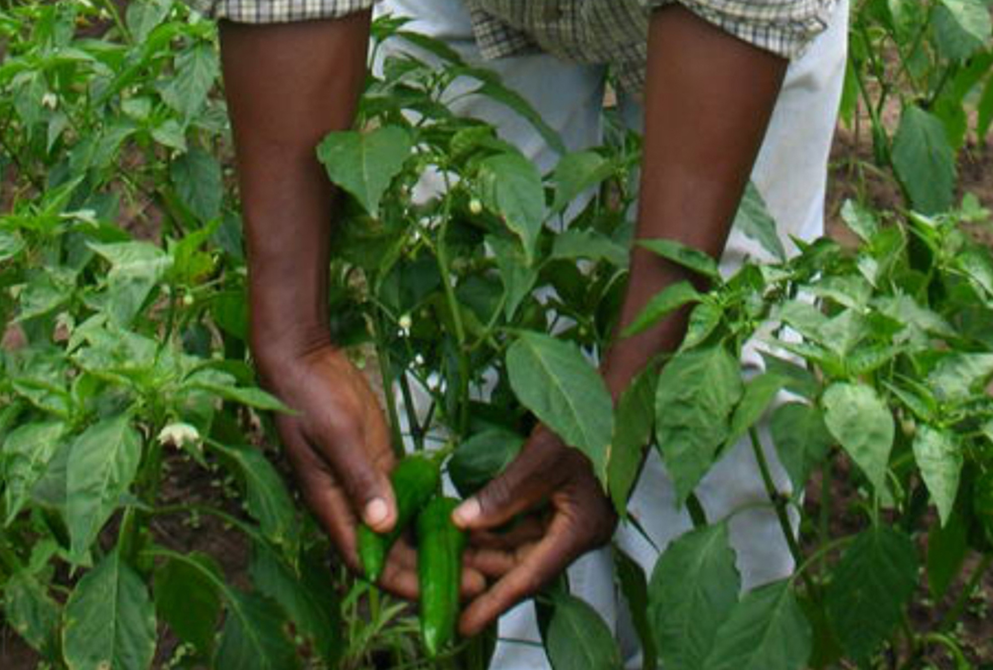 A paprika farmer inspecting his pepper crop in Malawi.