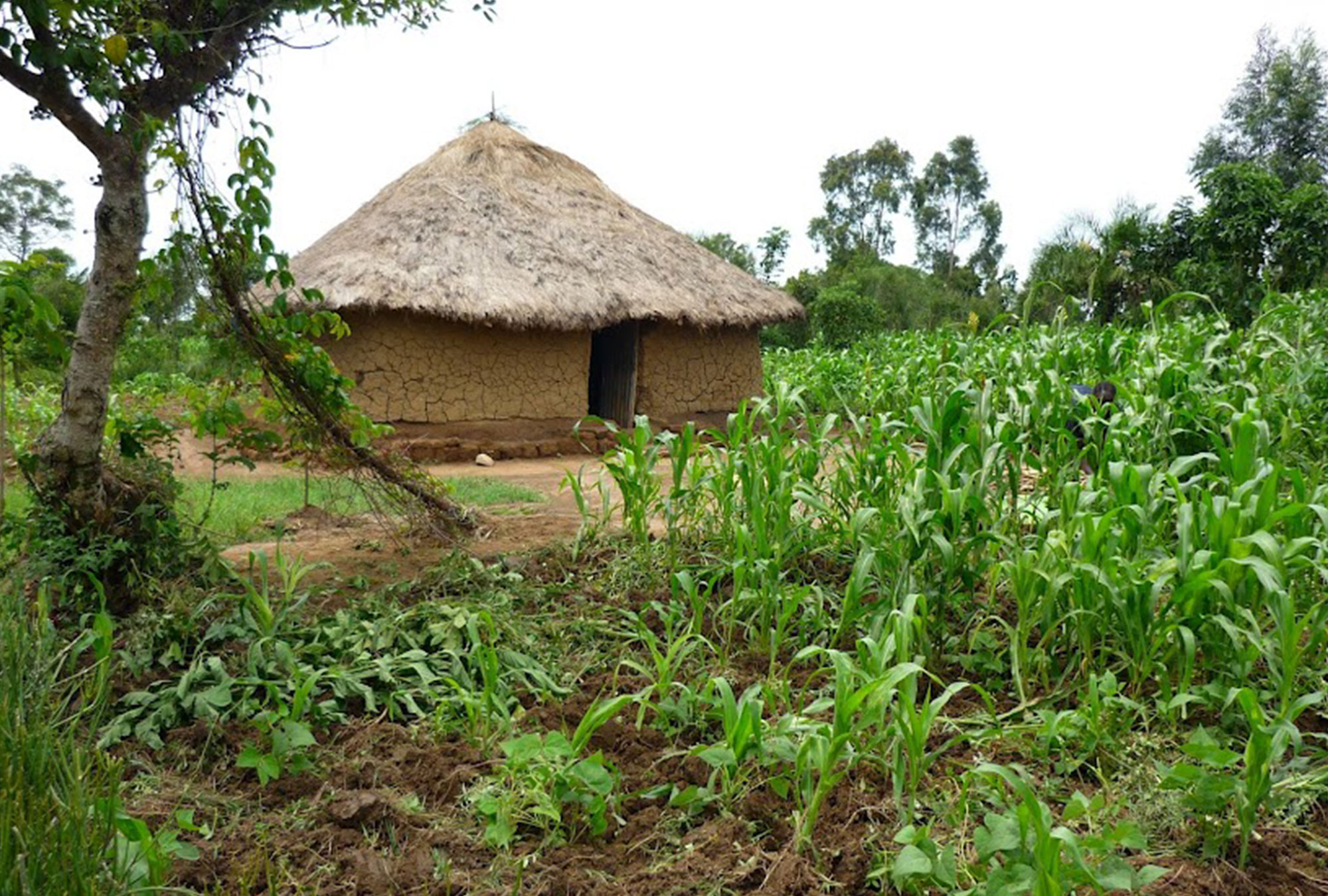 Mud house with thatch roof in corn field