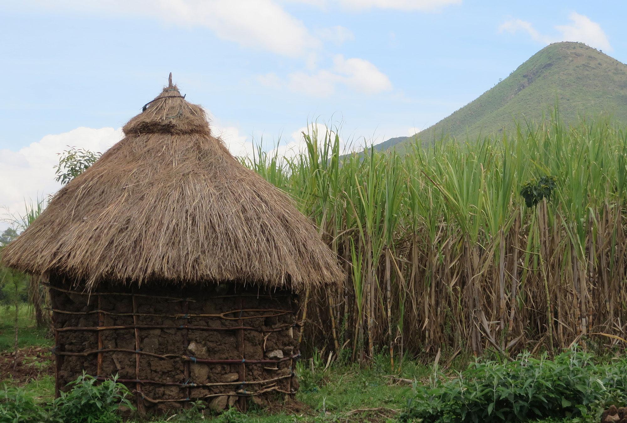Hut next to a field of sugarcane in western Kenya.