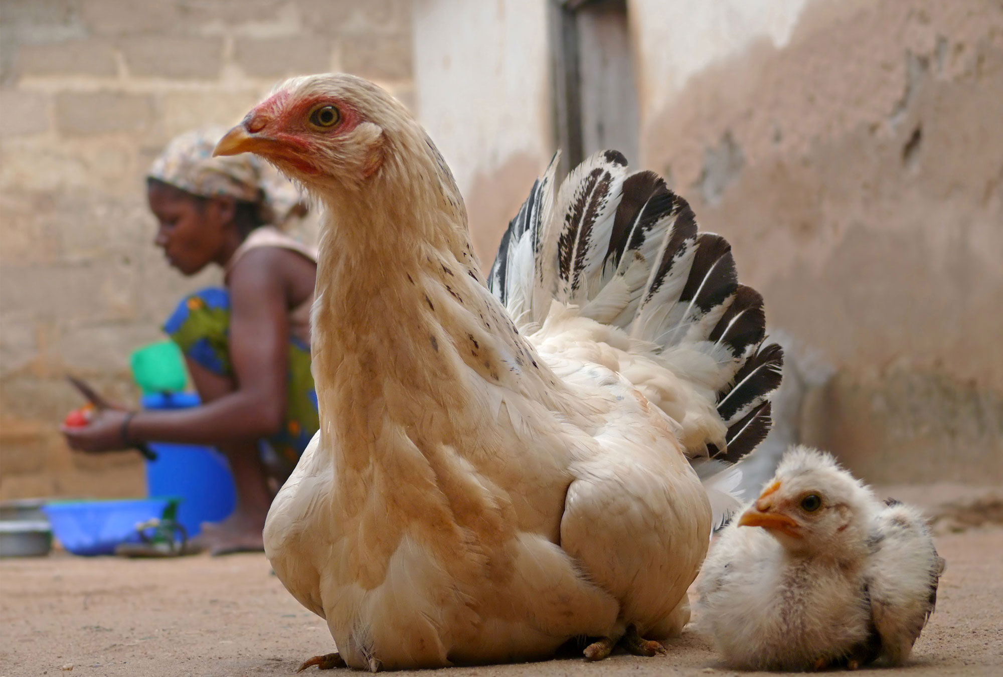 Two chickens with a woman in the background
