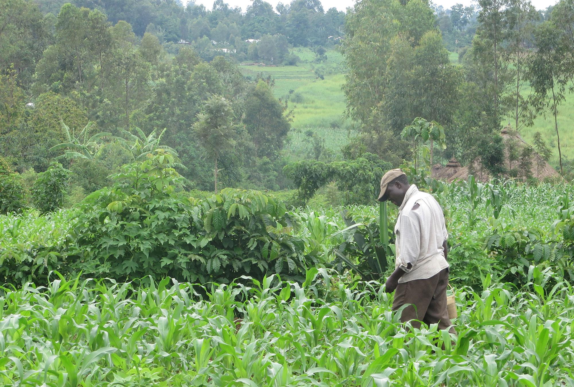 Man walking in corn field