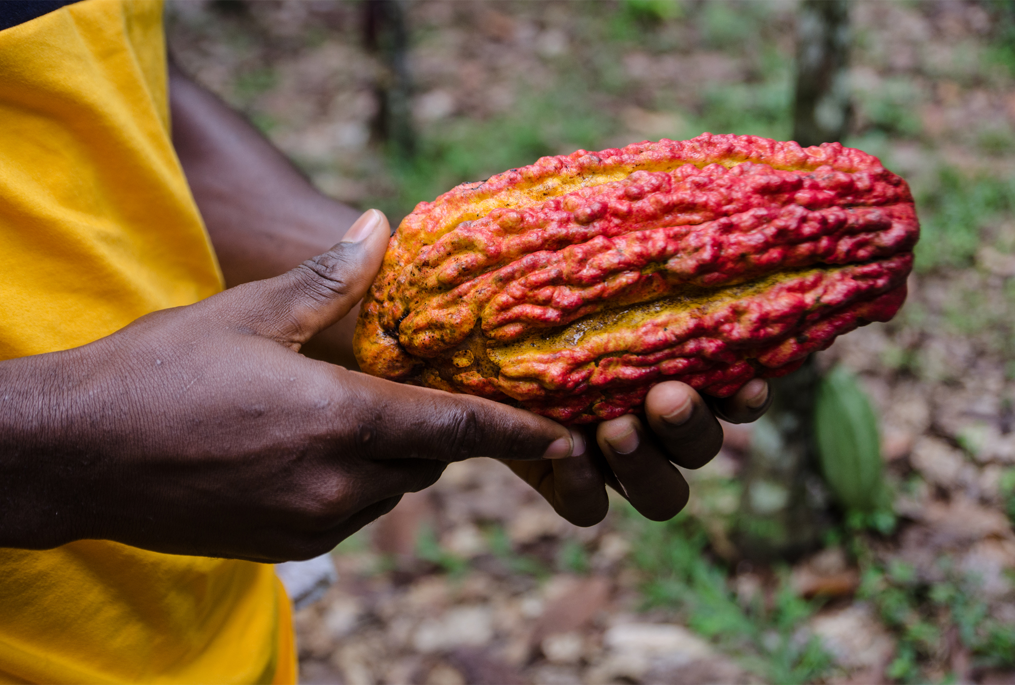 A person holding a red and yellow cocoa pod in Ghana