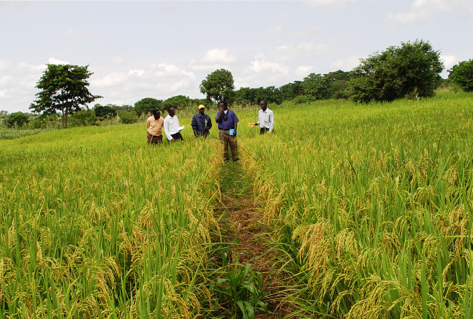 Nerica rice