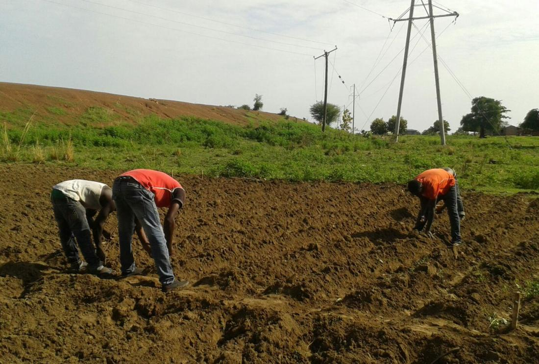 Three men bend over to plant seeds in plowed field