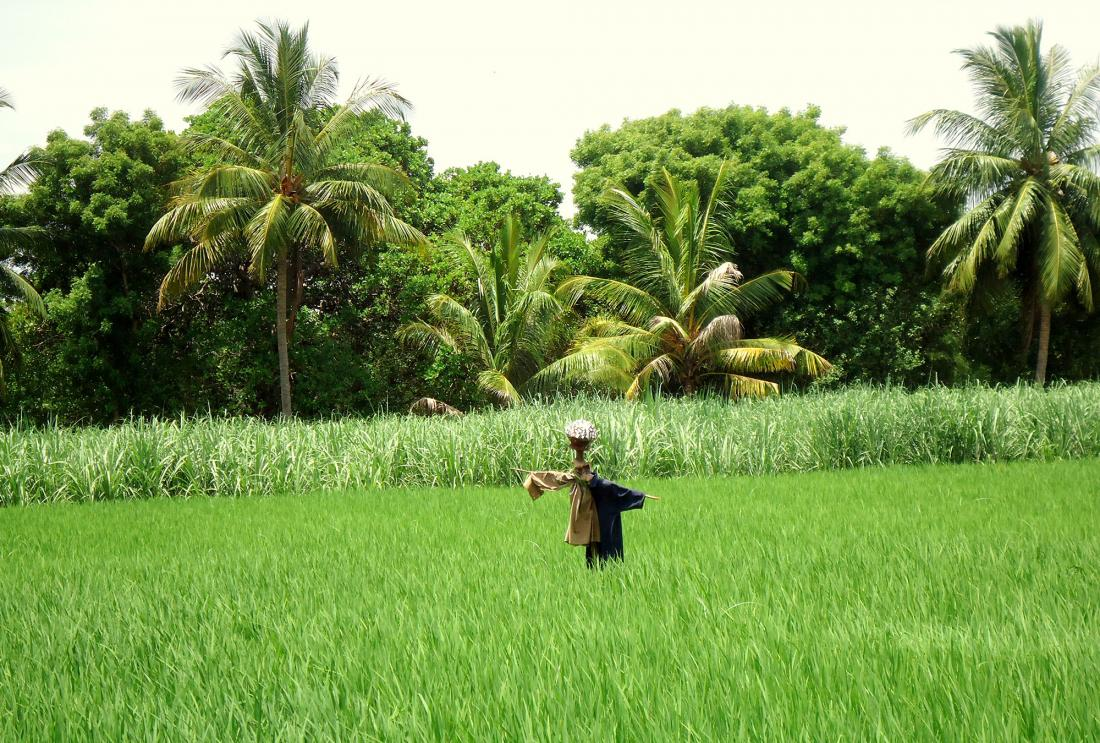 Scarecrow in green field with palm trees