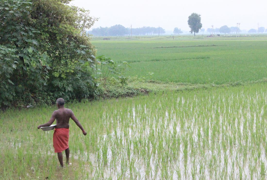 Man in lungi at work in rice field