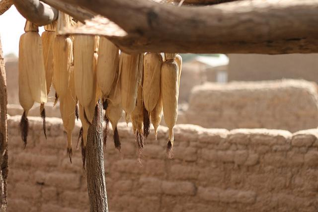 Corn hung up from wooden rafter