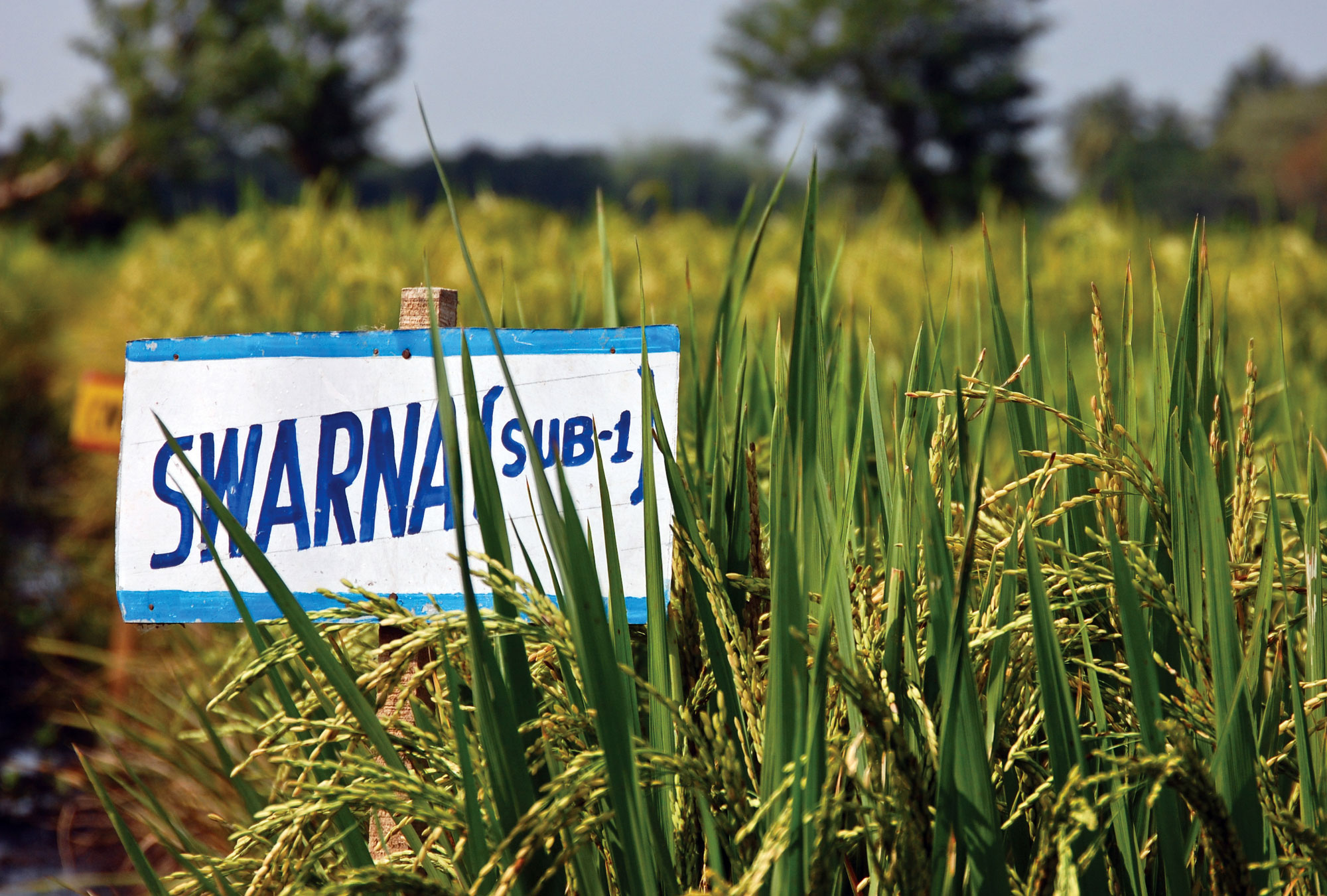 "Sign reading ""Swarna Sub-1"" in rice field"